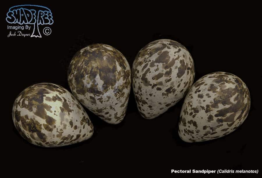 Pectoral Sandpiper - Calidris melanotos
