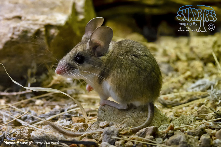 Pinyon Mouse - Peromyscus truei