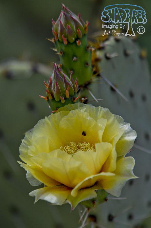 Prickley Pear Cactus Flower - Unknown