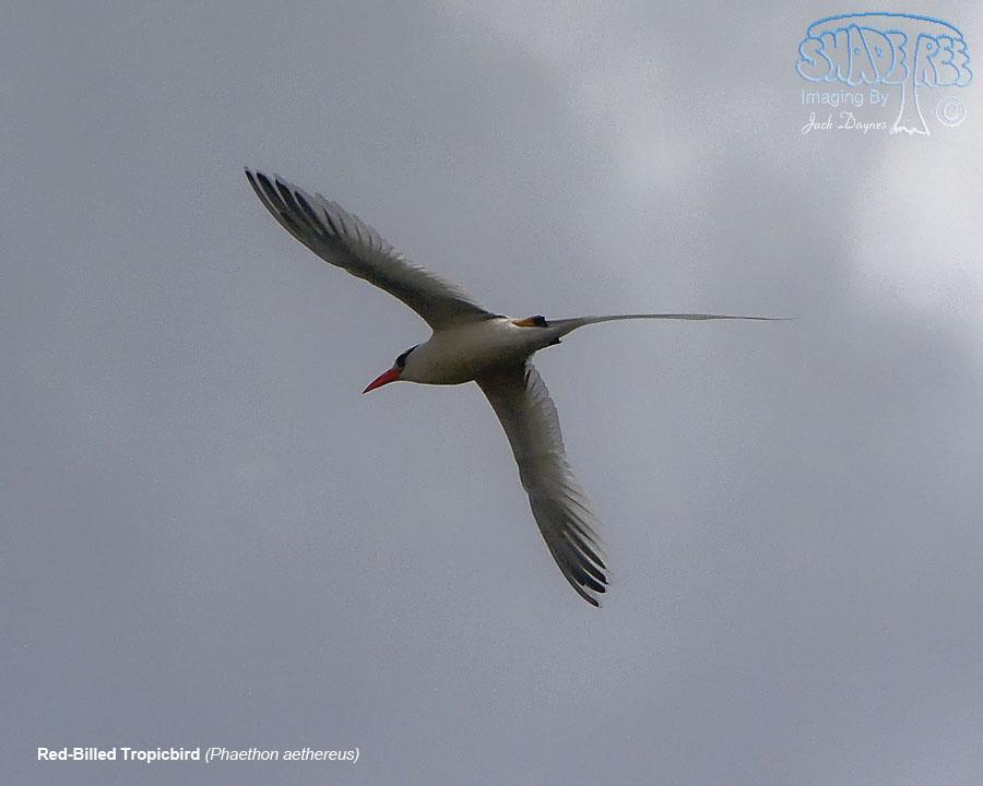 Red-Billed Tropicbird - Phaethon aethereus