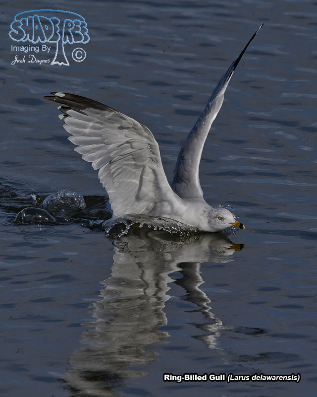 Ring-Billed Gull - Larus delawarensis
