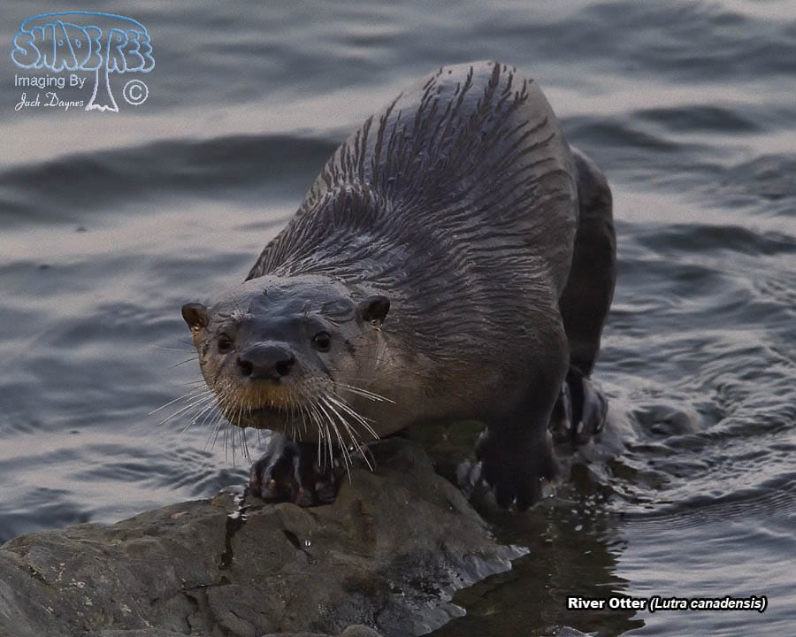 River Otter - Lutra canadensis