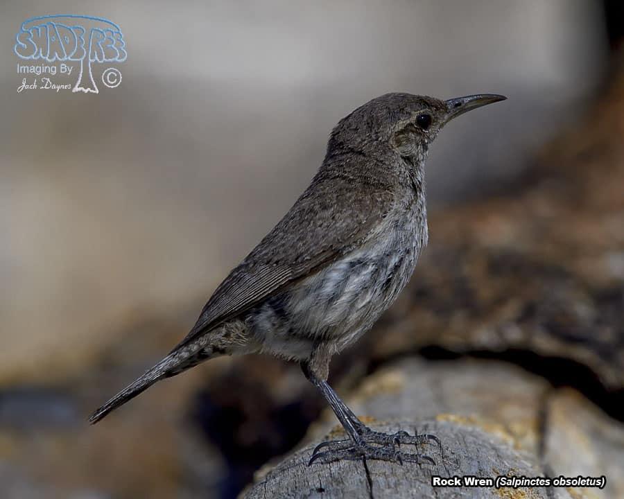 Rock Wren - Salpinctes obsoletus
