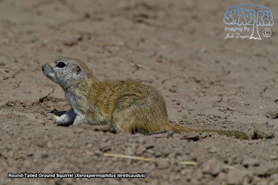 Round-Tailed Ground Squirrel - Xerospermophilus tereticaudus
