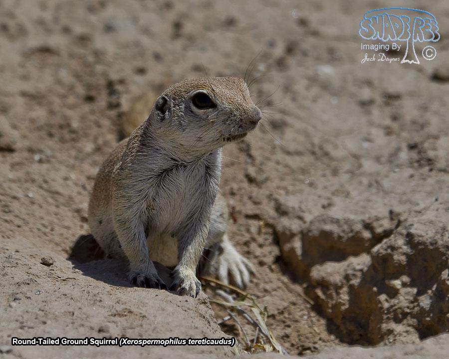 Round-Tailed Ground Squirrel - Xerospermophilus tereticaudus