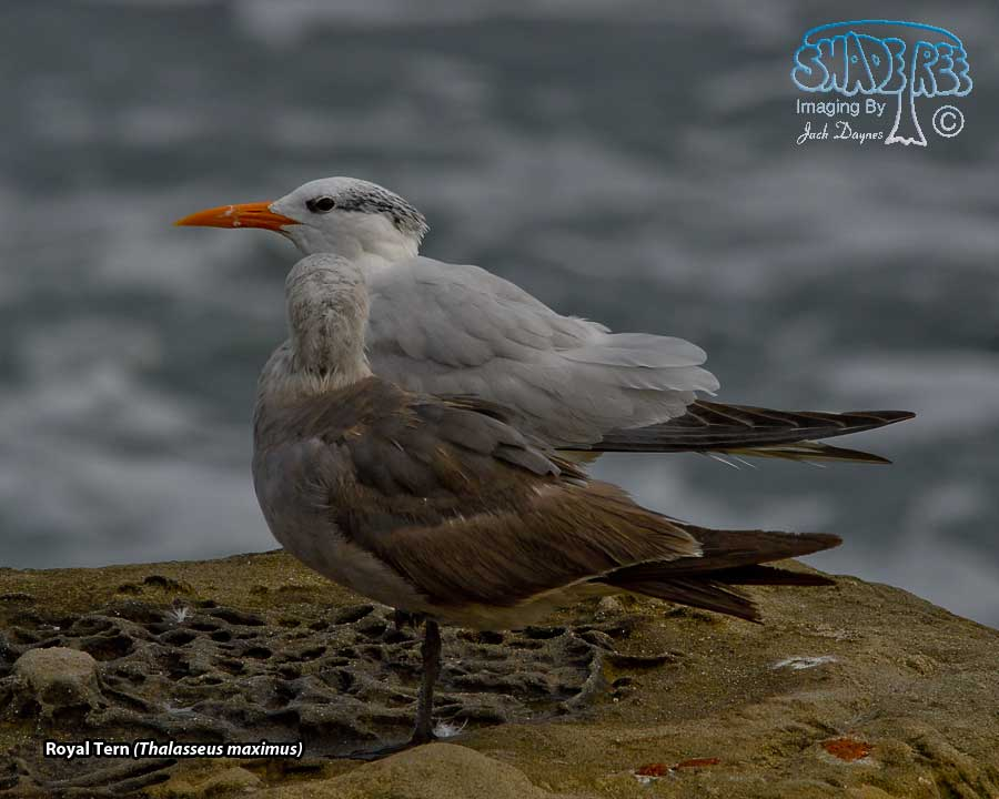 Royal Tern - Thalasseus maximus