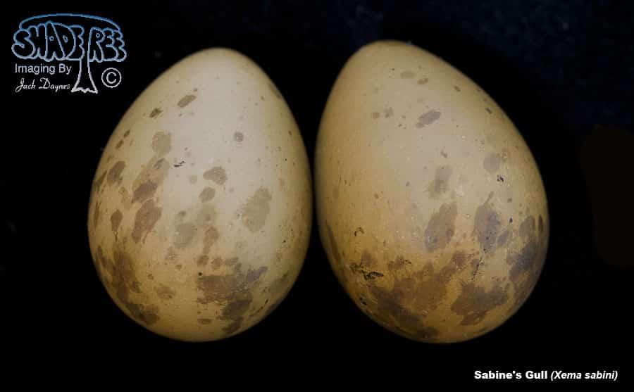 Sabine's Gull - Xema sabini