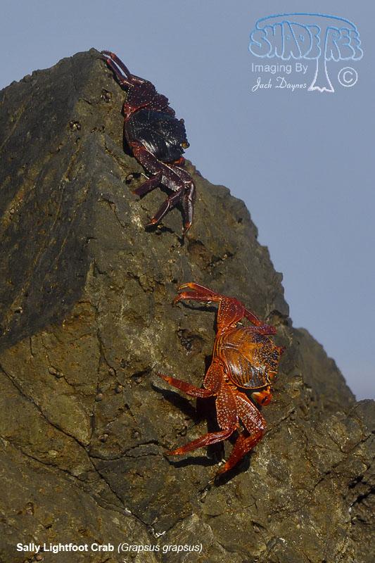 Sally Lightfoot Crab - Grapsus grapsus