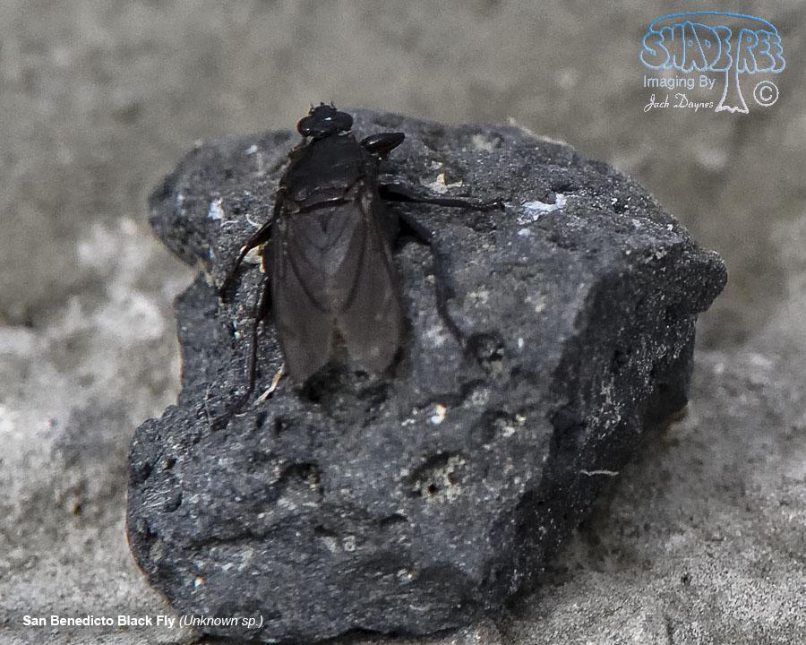 San Benedicto Black Fly - Unknown sp.