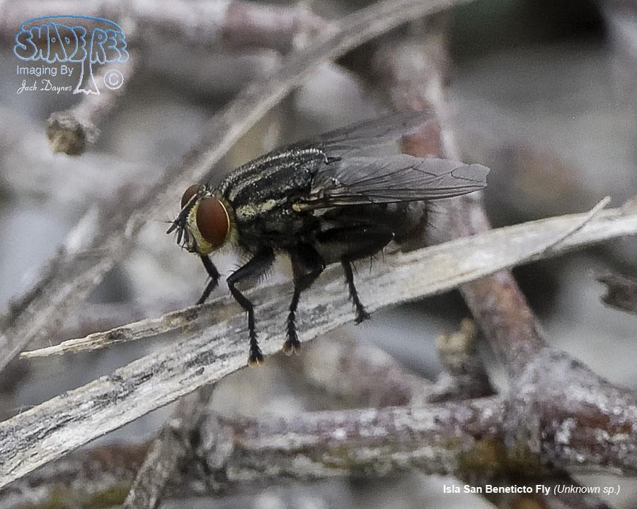 Isla San Beneticto Fly - Unknown sp.