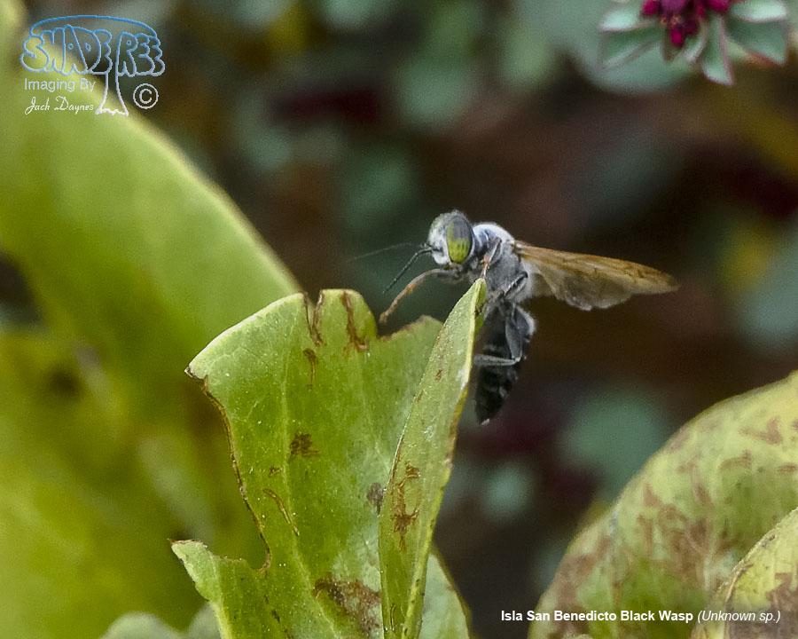 Isla San Benedicto Black Wasp - Unknown sp.