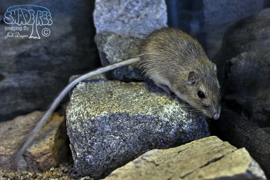 San Diego Pocket Mouse