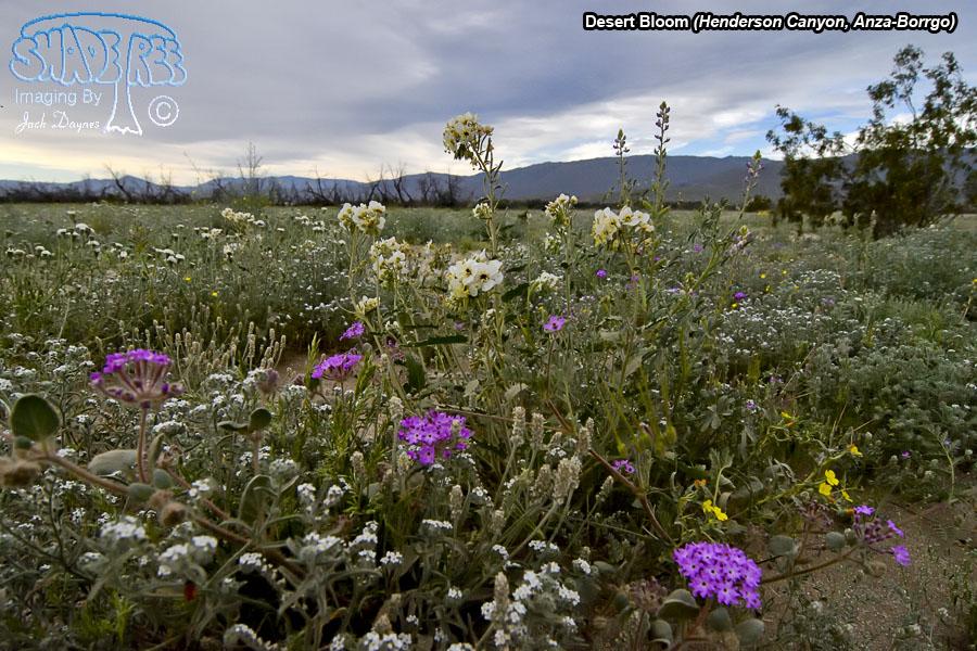 Desert Bloom - Abronia villosa