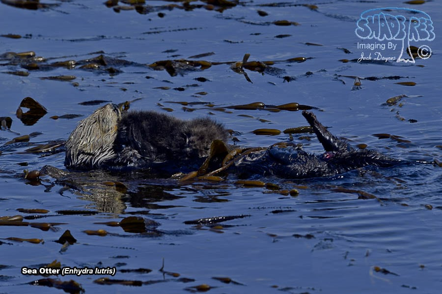 Sea Otter - Enhydra lutris