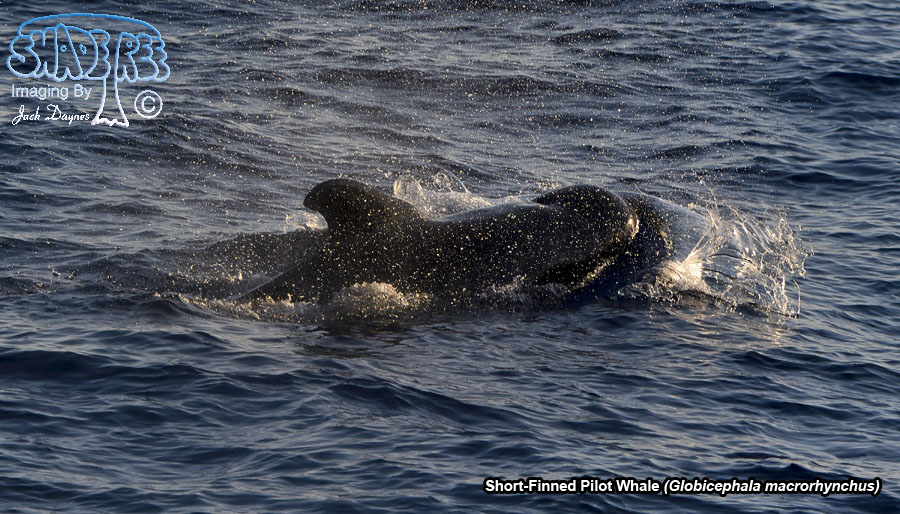 Short-Finned Pilot Whale - Globicephala macrorhynchus