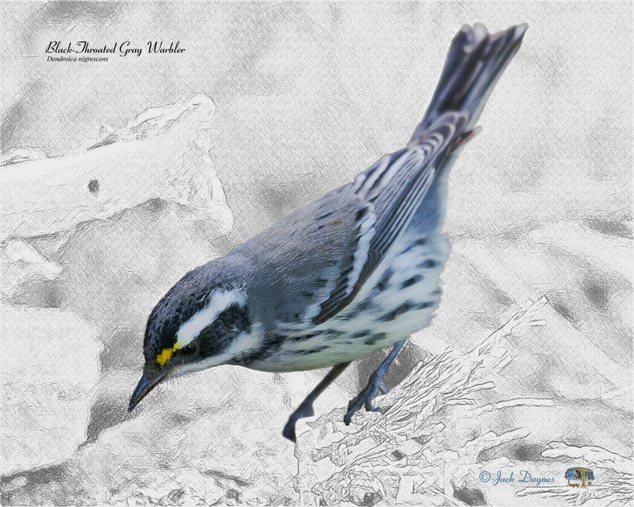 Black-Throated Gray Warbler - Dendroica nigrescens