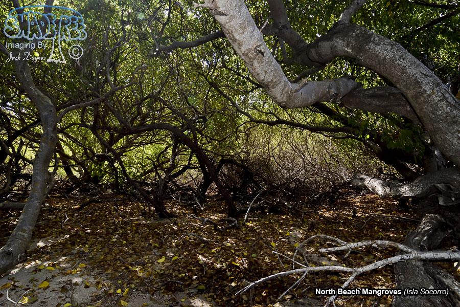 Beach Mangroves - Isla Socorro