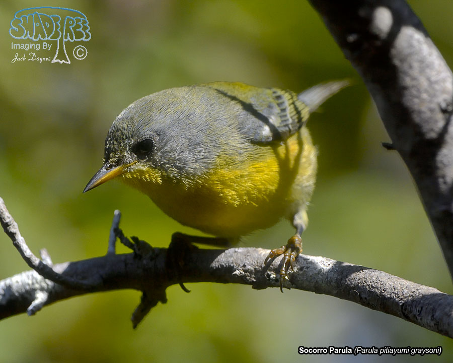Socorro Parula - Parula pitiayumi graysoni