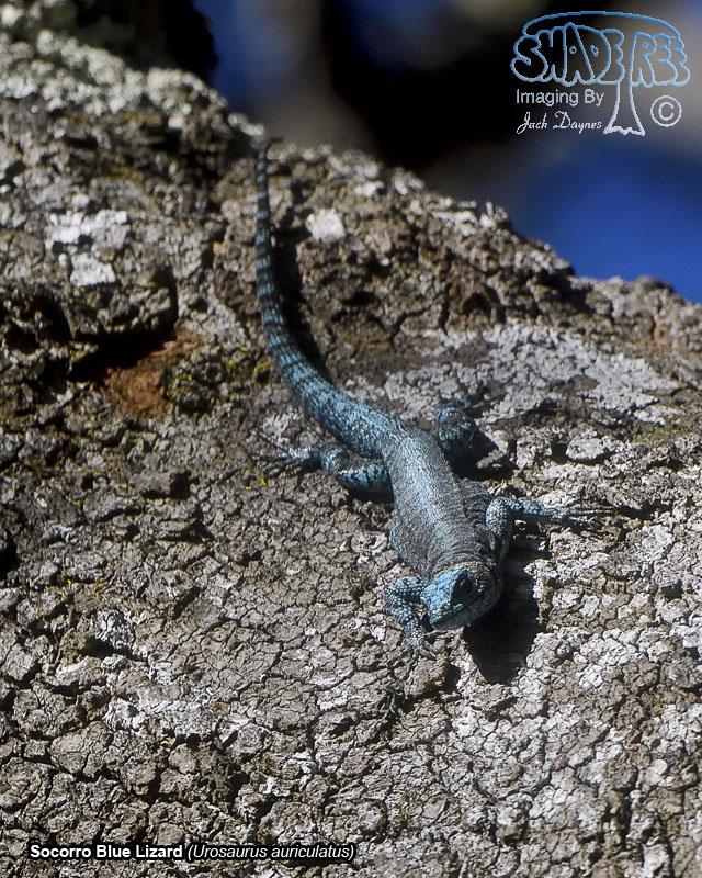 Socorro Blue Lizard - Urosaurus auriculatus