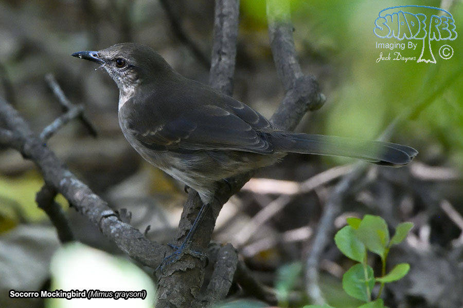 Socorro Mockingbird - Mimus graysoni