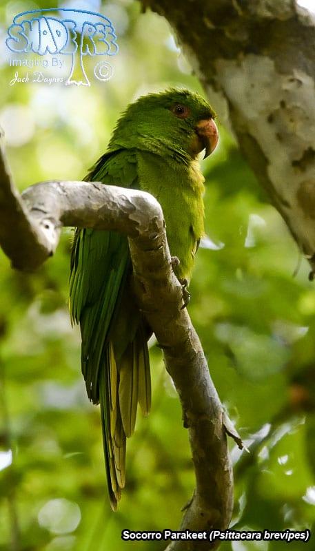 Socorro Parakeet - Psittacara brevipes
