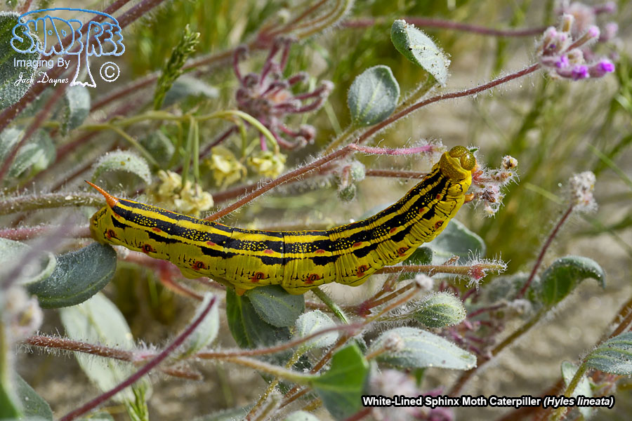 White-Lined Sphinx Moth Caterpiller - Hyles lineata