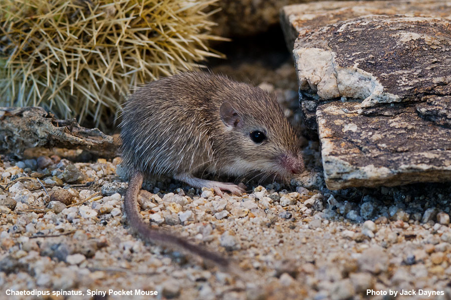 Spiny Pocket Mouse - Chaetodipus spinatus