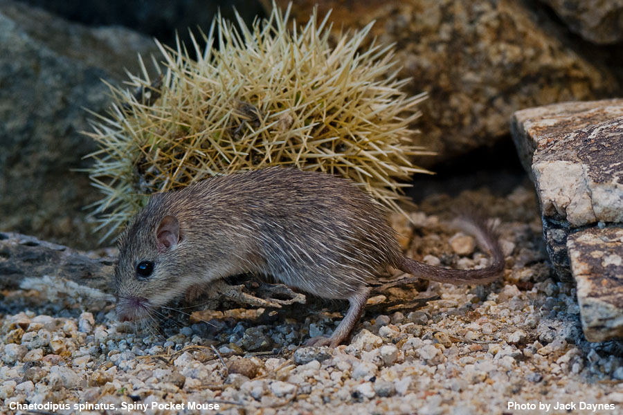 Spiney Pocket Mouse - Chaetodipus spinatus