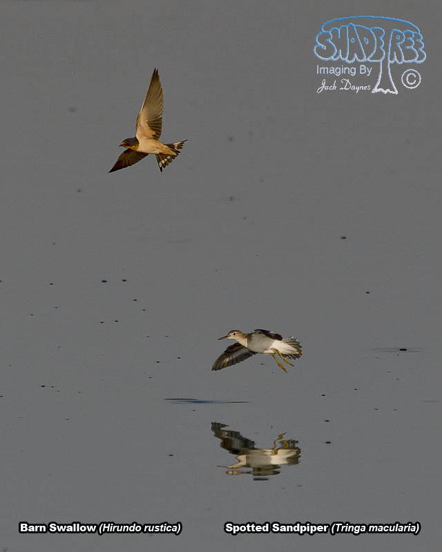 Spotted Sandpiper (and Barn Swallow) - Tringa macularia