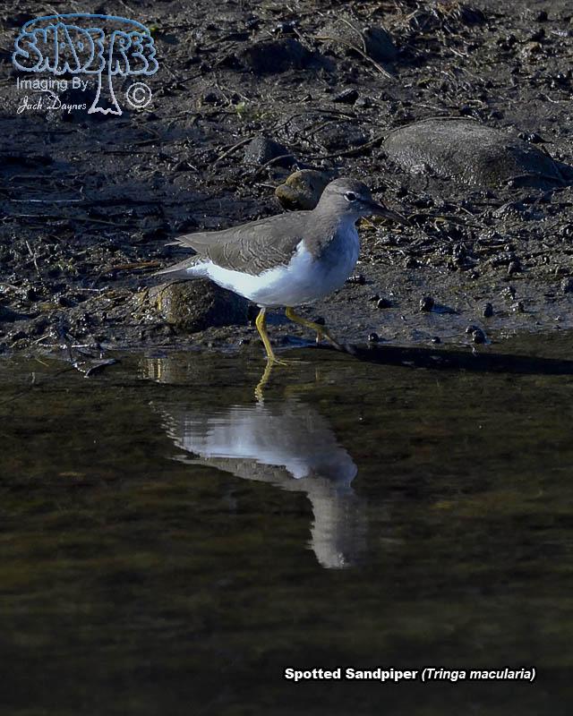 Spotted Sandpiper - Tringa macularia