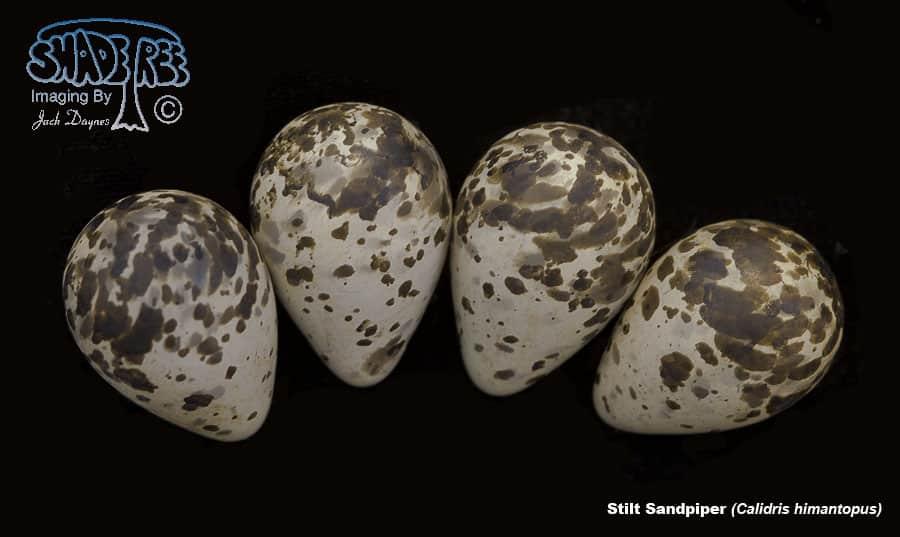Stilt Sandpiper - Calidris himantopus
