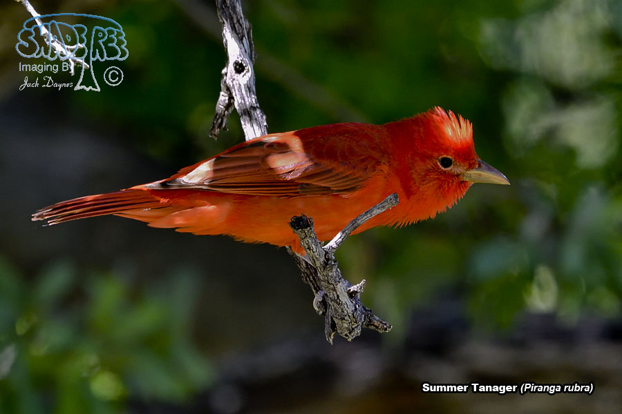 Summer Tanager - Piranga rubra
