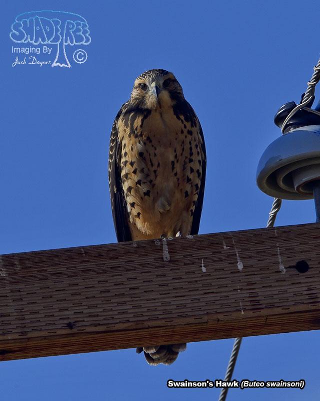 Swainson's Hawk - Buteo swainsoni