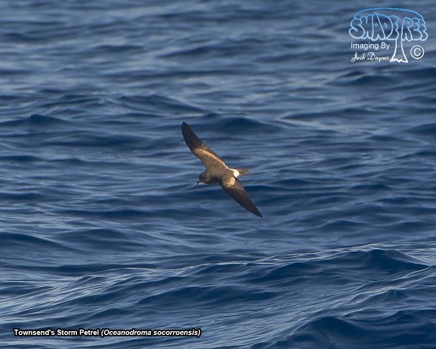 Townsend's Storm Petrel - Oceanodroma socorroensis