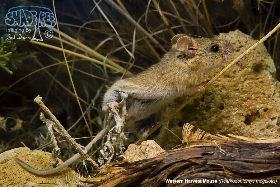 Western Harvest Mouse - Reithrodontomys megalotis