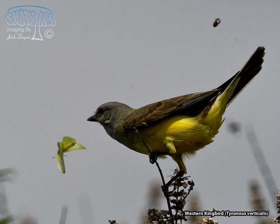 Western Kingbird - Tyrannus verticalis