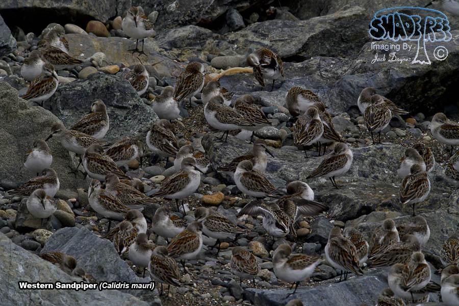 Western Sandpiper - Calidris mauri