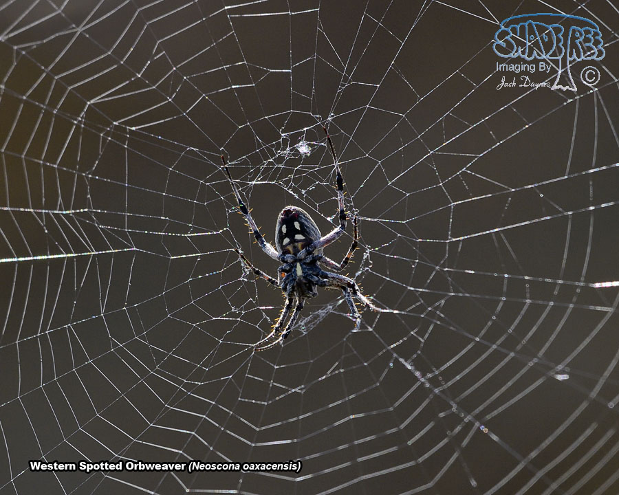 Western Spotted Orbweaver - Neoscona oaxacensis