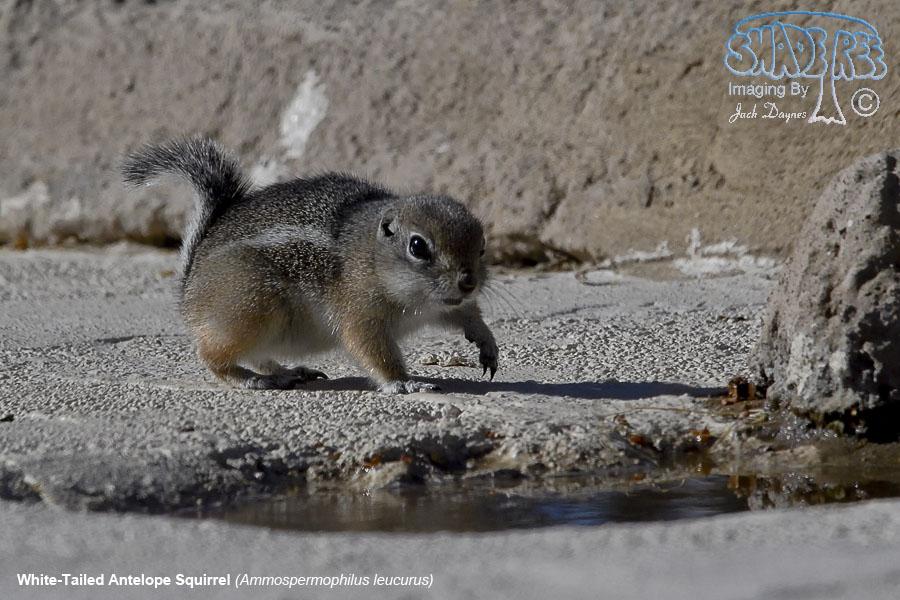 White-Tailed Antelope Squirrel - Ammospermophilus leucurus
