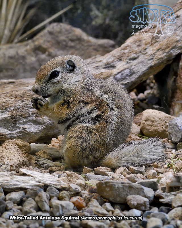 White-Tailed Antelope Squirrel - Ammospermophilus leucurus