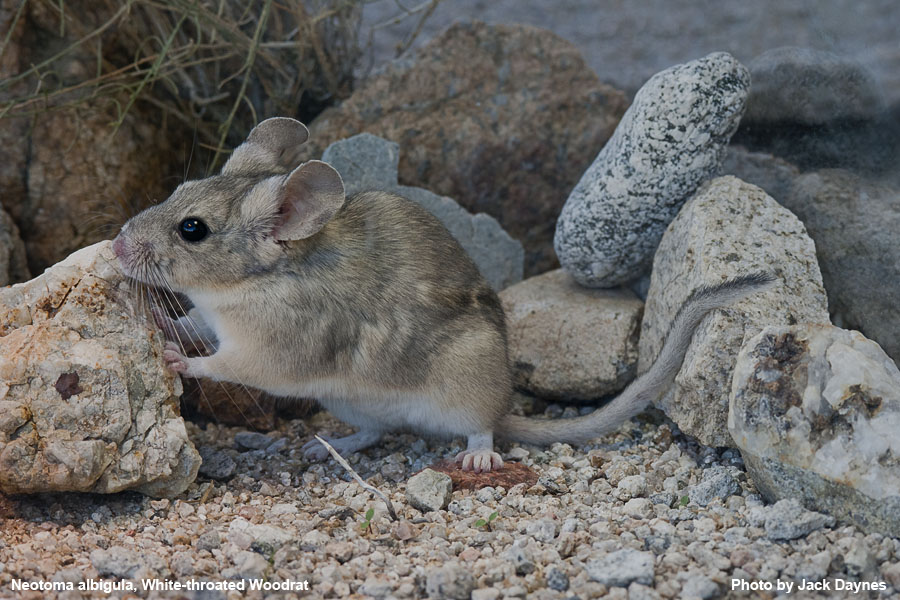 White-Throated Woodrat - Neotoma albigula