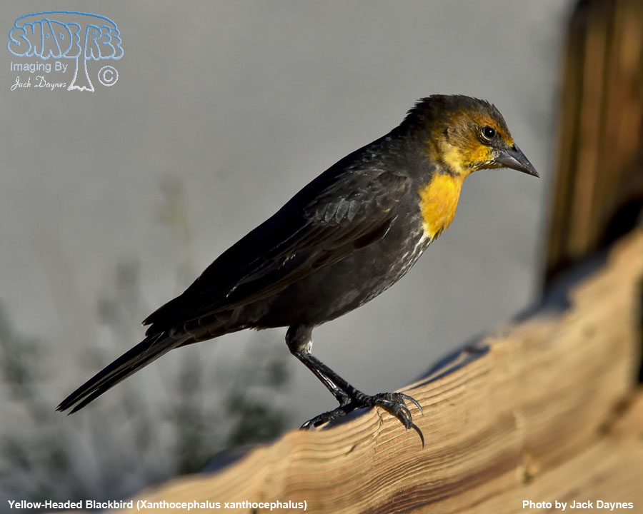 Yellow-Headed Blackbird - Xanthocephalus xanthocephalus