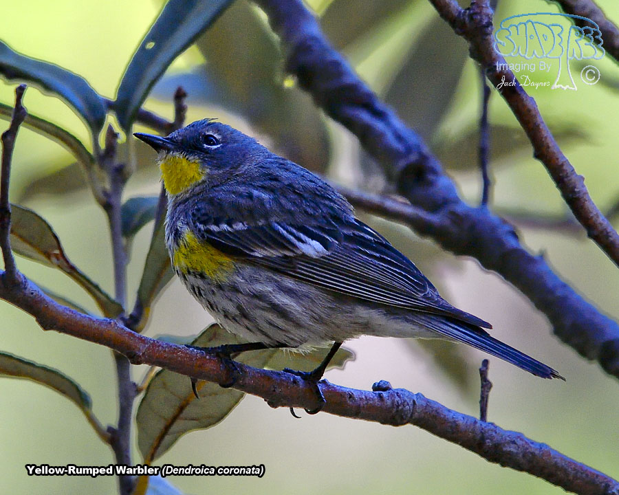 Yellow-Rumped Warbler - Dendroica coronata