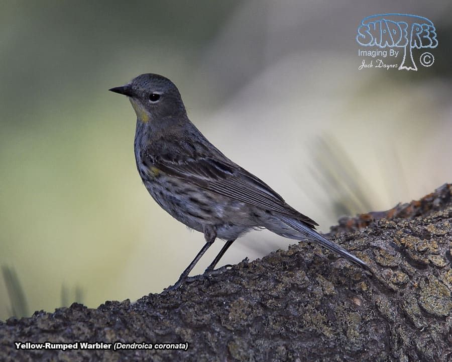 Yellow-Rumped Warbler - Dendroica coronata