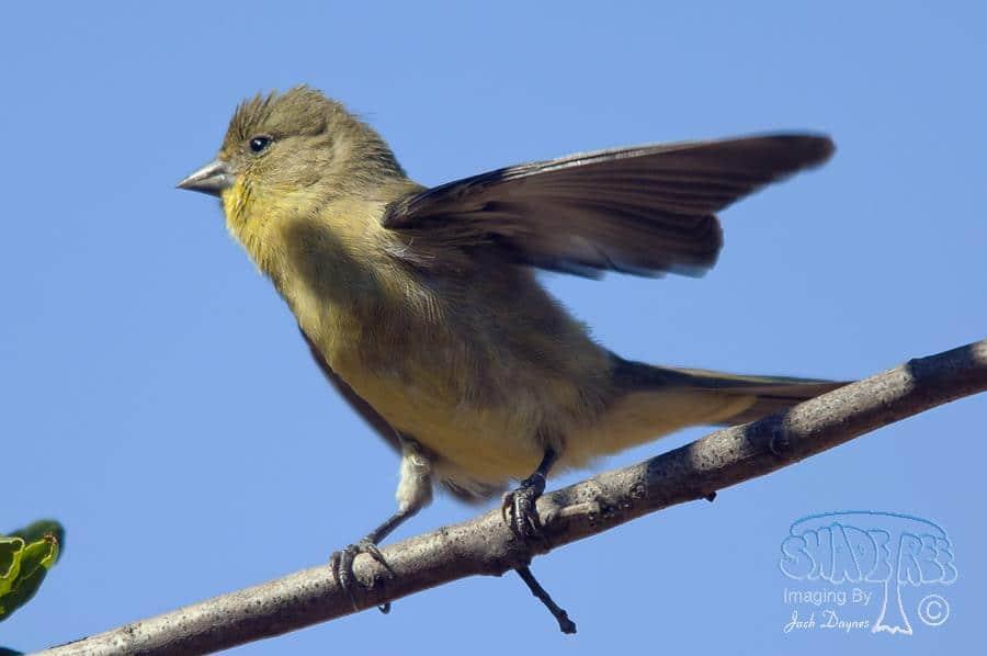 Lesser Goldfinch - Carduelis psaltria