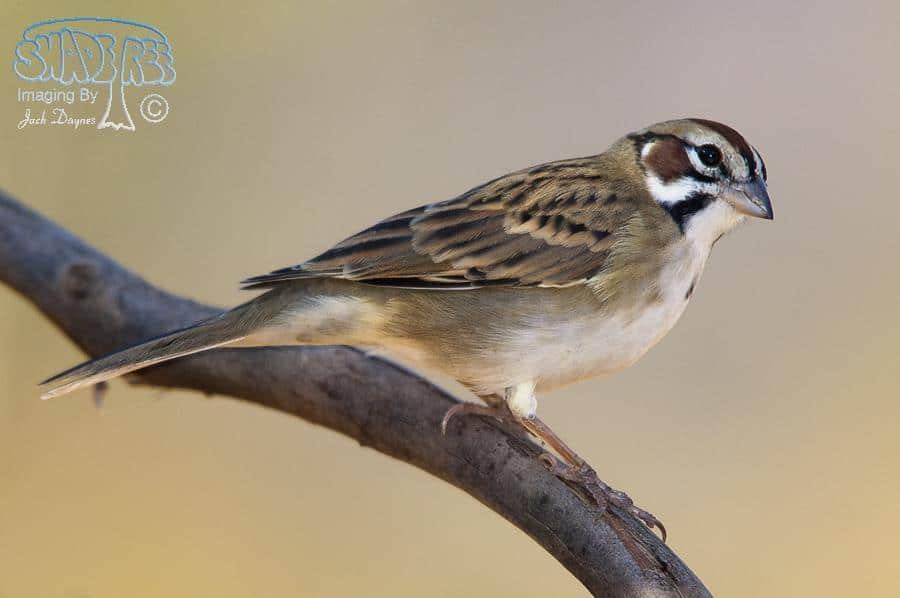 Lark Sparrow - Passer domesticus