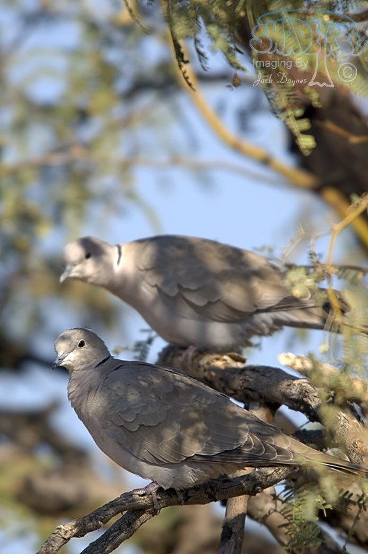 Eurasian Collared-Dove - Streptopelia decaocto