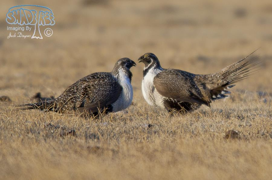 Greater Sage Grouse - Centrocercus urophasianus