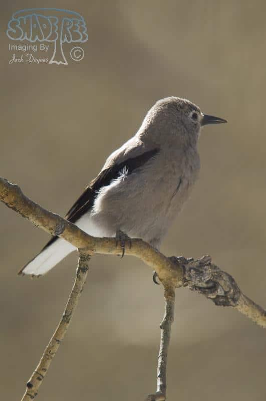 Anna's Hummingbird - Calypte anna