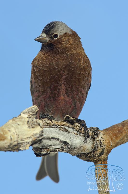 Gray-crowned Rosy-Finch - Leucosticte tephrocotis